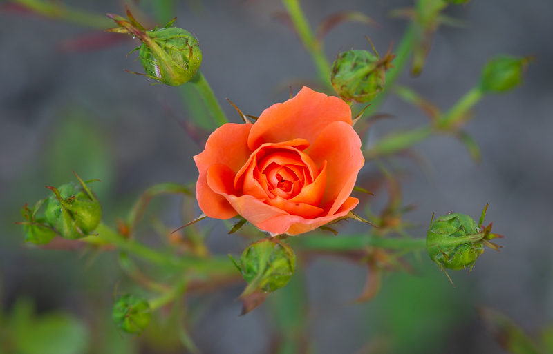 annuaire photographes suisse romande, Rose orange dans son écrin - http://philippe.belazp.com/ - Le Meuh de Courtepin
