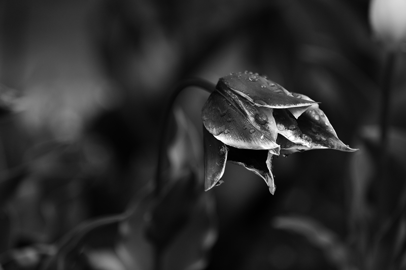 annuaire photographes suisse romande, Black Tulip - http://www.2point8.ch - 2point8 de Bercher