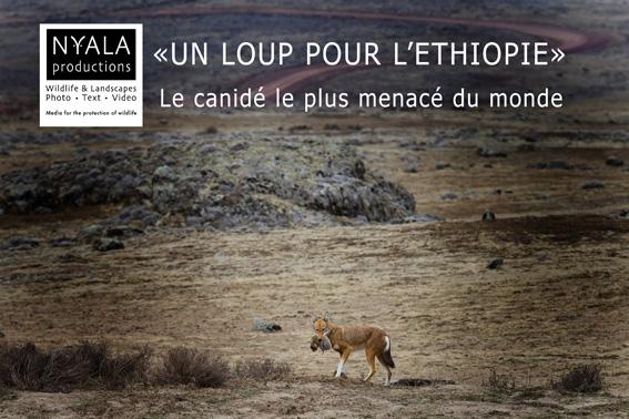 Le loup éthiopien, en voie d'extinction: un projet pour le sauver par Thierry Grobet de http://www.thierrygrobet.com
